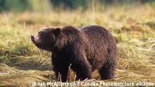25.11.2009 | Coastal grizzly bear Ursus arctos horribilis on estuary (Ursus arctos), Great Bear Rainforest, British Columbia, Canada.