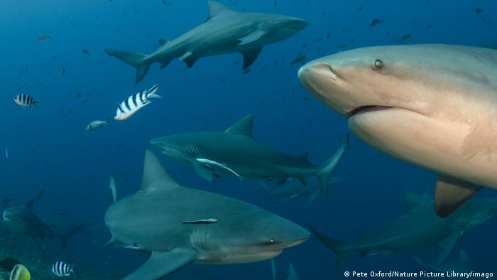 A shoal of sharks