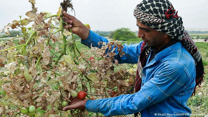 A Jordanian farmer hows a branch of a tomato plant that has dried out due to severe drought