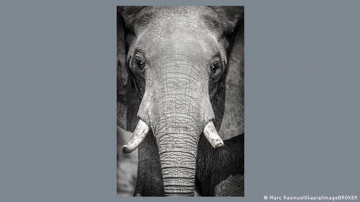 Ein Elefant mit abgesägten Stoßzähnen blickt in die Kamera.