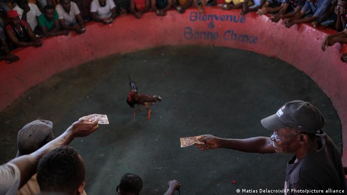 Snimljeno na Haitiju, juče. Onaj ko se kladio na pobedničkog petla dobija 150 dolara - po borbi. Klub se zove Anbalakaj kaj kano.
