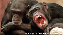 ARCHIV - Zwei Schimpansen am 10.12.1998 im Zoo in Krefeld (Nordrhein-Westfalen). (zu dpa Zur Dokumentation «Sehnsucht nach Autorität» vom 12.12.2017) Foto: Bernd Thissen/dpa +++ dpa-Bildfunk +++