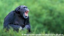 Chimpanzee, calling / (Pan troglodytes) / Schimpanse, rufend / Afrika / africa, animals, aussen / outdoor, schwarz, black, Wiese, meadow, sitzen / sitting, adult, Kommunikation / communication, Saeugetiere / mammals, apes / primates, Menschenaffen / Primaten, Querformat, horizontal
