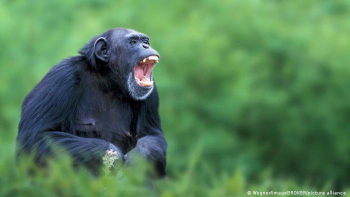 La population de chimpanzés compterait entre 172.000 et 300.000 membres aujourd'hui contre 1 million dans les années 1960
