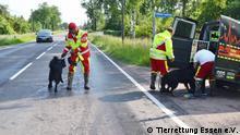 Herrenlose Hunde werden von den Rettern auf der Straße eingesammelt und ins Tierheim gebracht. Tierrettung Essen e.V. ©Tierrettung Essen e.V.