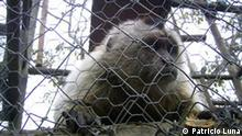 Dieser Wollaffe gehört zu den Tieren, die konfisziert und später nach Peñaflor gebracht wurden. Das Affengehege in Peñaflor, außerhalb der chilenischen Hauptstadt Santiago. Copyright: Patricio Luna/DW.