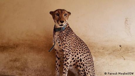 واحدة من نمرتين في حديقة الحيوانات بصنعاء تعانيان الجوع وفقدان الذكر لاستمرارية هذا النوع من الحيوانات النادرة