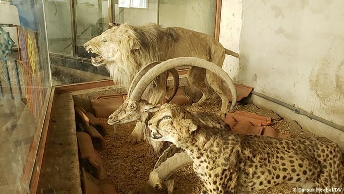 التحنيط هو مآل كثير من الحيوانات النادرة المعرضة للانقراض في اليمن