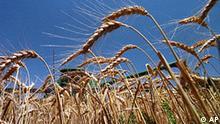 USA Weizenernte in Texas Symbolbild Ernte