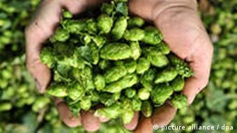 Hopfenbauern rechnen mit geringeren Erträgen