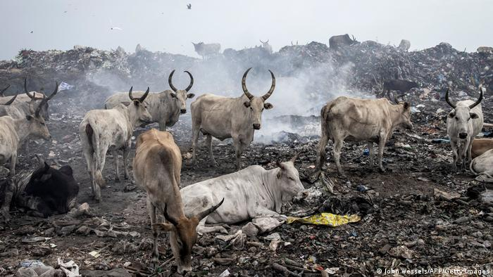 Cattle eat and rest inside the Mbeubeuss rubbish dump in Dakar.