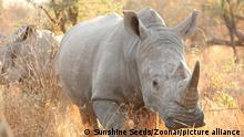African White Rhino on safari in a South African Game Reserve