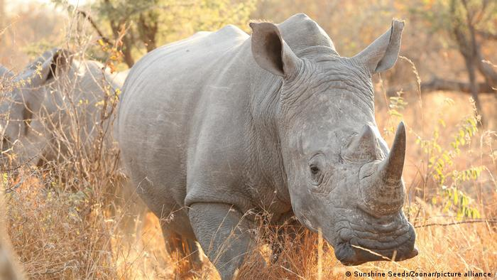 A southern white rhino pictured in South Africa