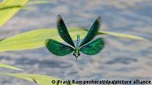 Eine Libelle fliegt am Oberlauf des kleines Flusses Jossa im hessischen Spessart auf der Suche nach Beute dicht über der Wasseroberfläche.