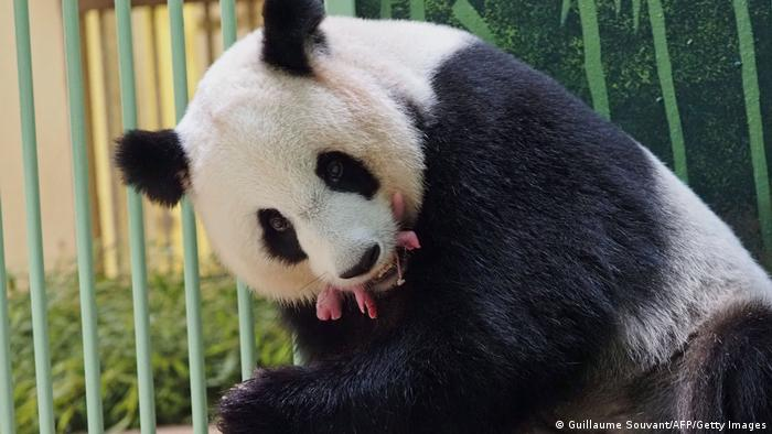 A black and white panda carries a pink baby panda in her mouth which looks like she is eating it