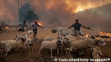 02/08/2021** TOPSHOT - Men gather sheeps to take them away from an advancing fire on August 2, 2021 in Mugla, Marmaris district, as the European Union sent help to Turkey and volunteers joined firefighters in battling a week of violent blazes that have killed eight people. - Turkey's struggles against its deadliest wildfires in decades come as a blistering heatwave grips southeastern Europe creating tinderbox conditions that Greek officials blame squarely on climate change. The fires tearing through Turkey since July 28 have destroyed huge swathes of pristine forest and forced the evacuation of panicked tourists from seaside hotels. (Photo by Yasin AKGUL / AFP) (Photo by YASIN AKGUL/AFP via Getty Images)