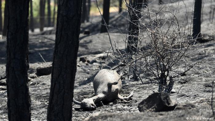 An animal burnt in the forest fire in North Macedonia