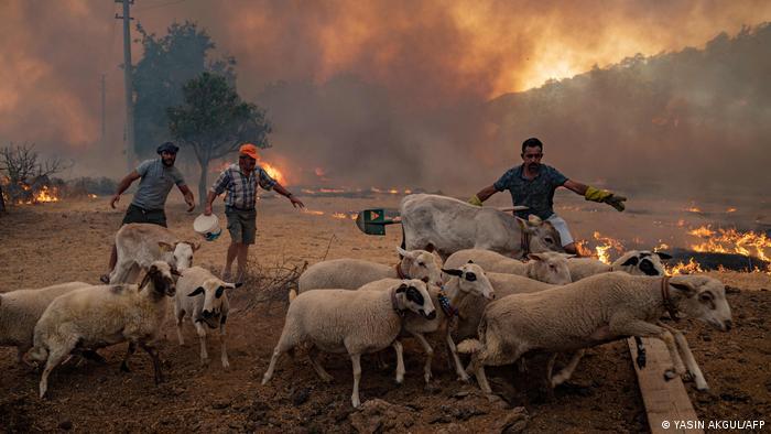 Hombres intentan savar a sus ovejas del fuego.