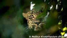 A leopard looks from a tree inside an enclosure at the Dachigam National Park on the outskirts of Srinagar, Indian controlled Kashmir, Saturday, Sept. 12, 2020. Amid the long-raging deadly strife in Indian-controlled Kashmir, another conflict is silently taking its toll on the Himalayan region's residents: the conflict between man and wild animals. According to official data, at least 67 people have been killed and 940 others injured in the past five years in attacks by wild animals in the famed Kashmir Valley, a vast collection of alpine forests, connected wetlands and waterways known as much for its idyllic vistas as for its decades-long armed conflict between Indian troops and rebels. (AP Photo/Mukhtar Khan)