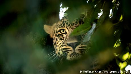 A leopard looks though leaves at a Kashmir national park