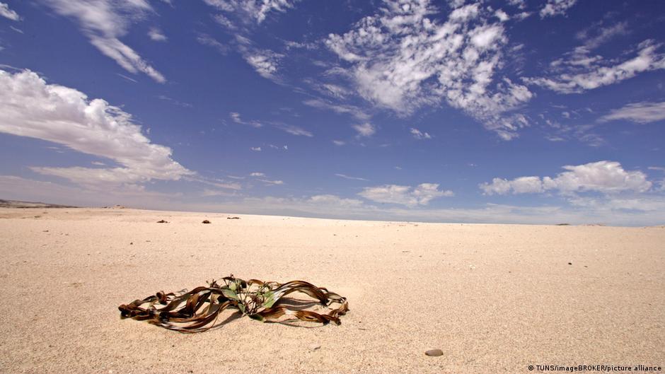 Namibia Welwitschie-Pflanze in Wüste