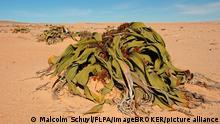 Las Welwitschia más grandes existen desde el comienzo de la Edad de Hierro, cuando se inventó el alfabeto fenicio y David fue coronado rey de Israel, como reporta The New York Times.