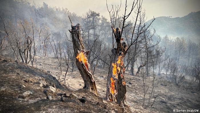 Burning olive trees