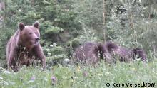 Braunbären in Rumänien - In den rumänischen Karpaten leben tausende Braunbären, so viele wie kaum anderswo in Europa