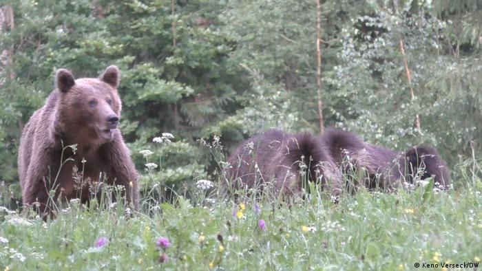 Urși în munții Carpați