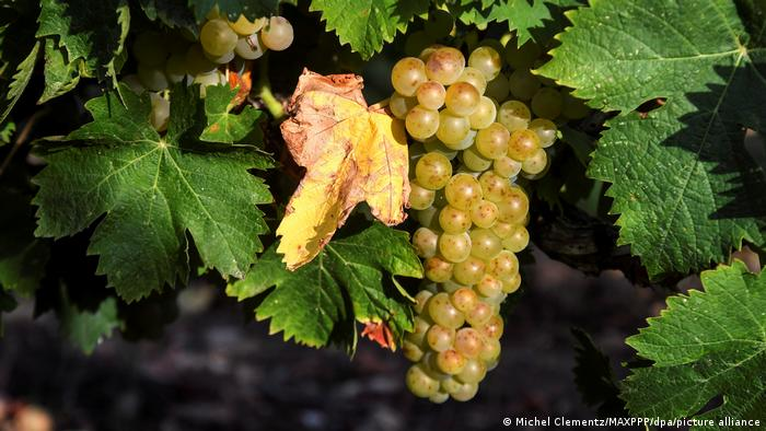 A vine of grapes
