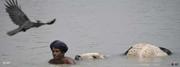 A Pakastani flood victim tries to save one of his cows as a vulture swoops overhead