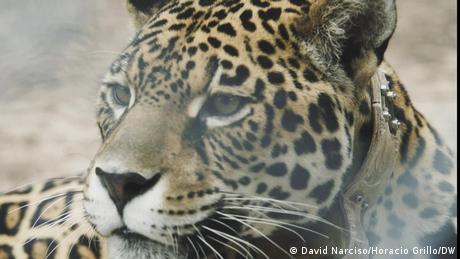 DW Eco latinaomerica | Jaguar kehrt in Chaco, Argentinien