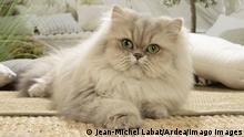 Persian Cat indoors PUBLICATIONxINxGERxSUIxAUTxONLY Copyright: Jean-MichelxLabat 12692043