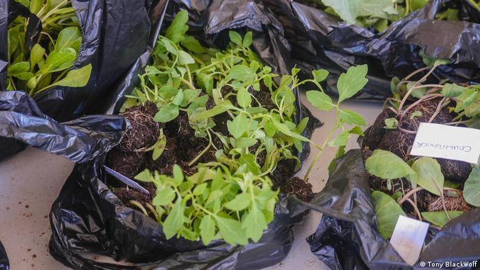 Plants in black bags in Uganda.