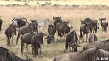 *** Bitte nur in Zusammenhang mit der Berichterstattung verwenden *** Global 3000 (30.08.2021) Global Kenia Tierwanderung - Im Maasai Mara Naturreservat sind Tiere von Hunger bedroht, weil ihre Zuggebiete immer mehr in Flammen aufgehen.