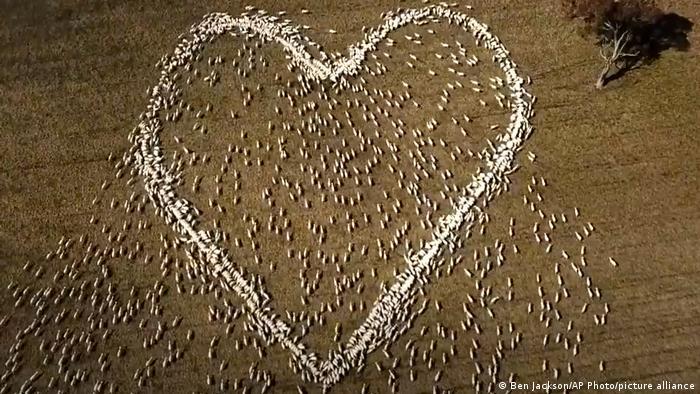 Foto do alto mostra centenas de ovelhas formando um coração