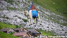 A cow is transported by a helicopter after its summer sojourn in the high Swiss Alpine meadows near the Klausenpass, Switzerland August 27, 2021. REUTERS/Arnd Wiegmann