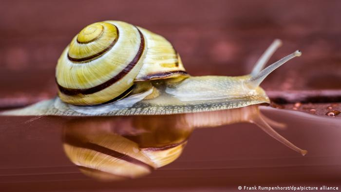 A snail crawls across a wet surface in Germany
