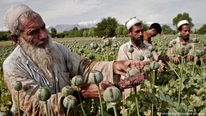 Hombres trabajando en un campo de amapolas.