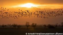 flying big flock of Greylag goose (Anser anser) over sunset landscape, bird migration in the Hortobagy National Park, Hungary, puszta is famouf ecosystems in Europe and UNESCO World Heritage Site