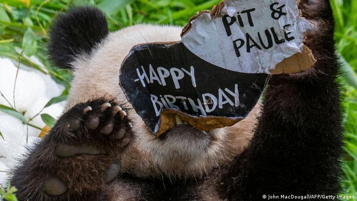 Pitu se izgleda dopada ukus kartona. On i njegov brat blizanac Paul slave drugi rođendan. Njihovi roditelji, Meng Meng i Điao King pozajmljeni su berlinskom zoološkom vrtu 2017, a mladunci su rođeni u Nemačkoj. Ta proširena porodica pandi, nakon nekog vremena, biće vraćena u Kinu.