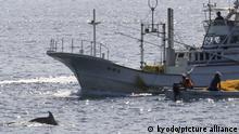 01.09.2020 In den Gewässern vor Taiji findet die erste Treibjagd der Saison auf Delfine und andere Kleinwale statt. +++ dpa-Bildfunk +++