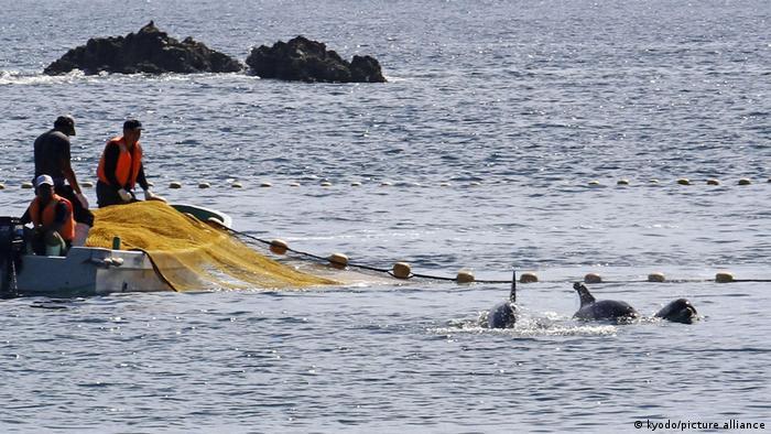 Japan Taiji   Fischer in einem kleinen Boot treiben mit Netzen Delfine zusammen