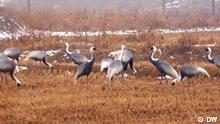 Korea / Kraniche / DW Kraniche Fluss voller Plastikmüll