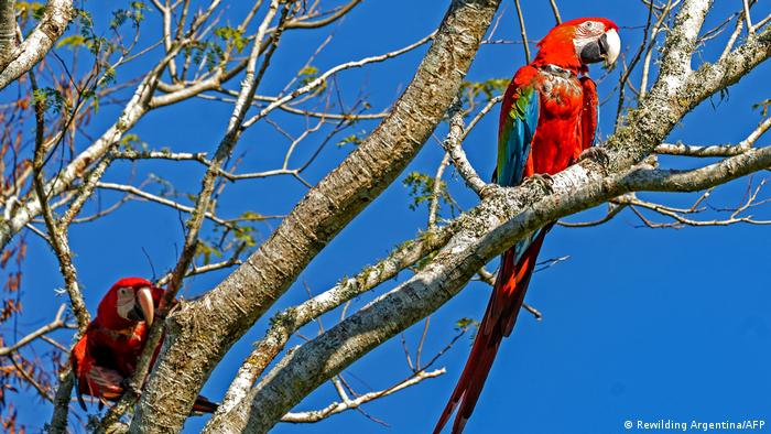 Red and green macaws in a tree