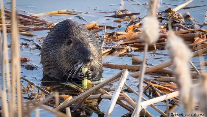 A beaver chews on fresh bark