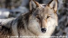 This Nov. 7, 2017, photo provided by the National Park Service shows a wolf in Yellowstone National Park, Wyo. Wolves have repopulated the mountains and forests of the American West with remarkable speed since their reintroduction 25 years ago, expanding to more than 300 packs in six states. (Jacob W. Frank/National Park Service via AP)
