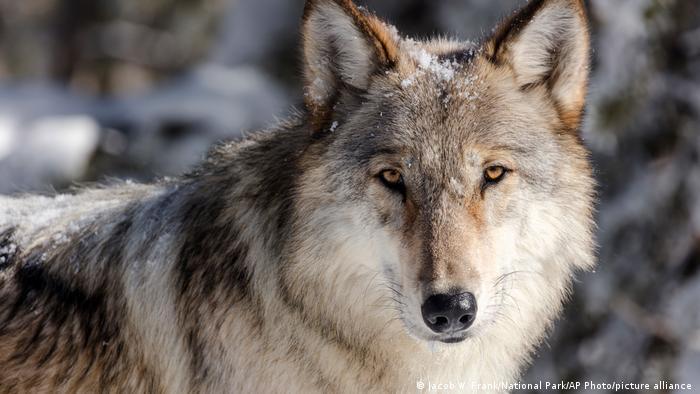 A closeup of a wolf