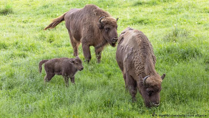 Two adult bisons with a baby bison