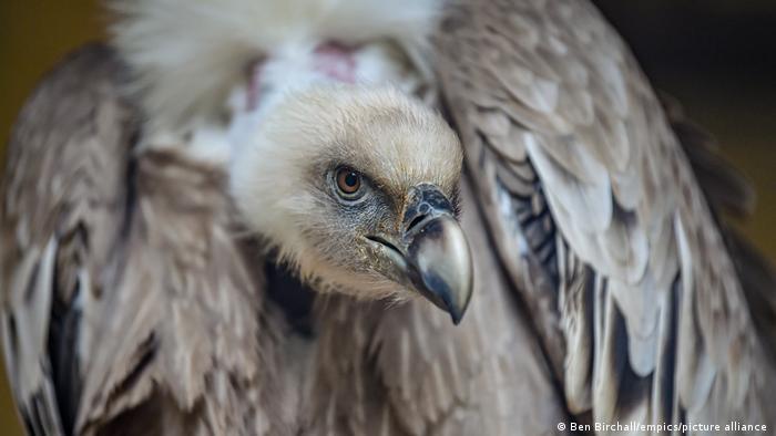 A closeup of a gray vulture